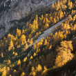 Golden-colored autumn larch forest. — Stock Photo