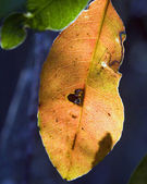 Dead leaf about to fall — Foto de Stock