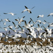 White Geese flocking #1 — Stock Photo