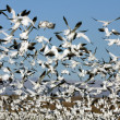White Geese flock #2 — Stock Photo