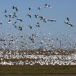 White geese flock #6 — Stock Photo