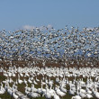 White Geese flock #7 — Stock Photo