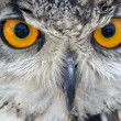 Viscious bird - predator owl - Stock Photo