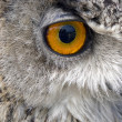 Stock Photo: Owl stare with beak