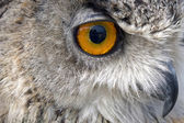 Owl stare with beak — Stock Photo