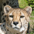 Staring Cheetah — Stock Photo #2141371