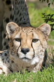 Staring Cheetah — Stock Photo