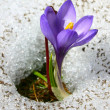 Violet crocus growing in the snow — Stock Photo #1803280