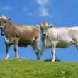 Swiss cows against blue sky — Stock Photo