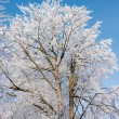 Tree covered with hoarfrost — Stock Photo