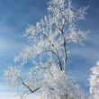 Tree branches covered with white frost — Stock Photo #1803590