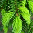 Fresh green pine needles - 图库照片
