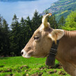 Cow grazing on an alpine pasture — ストック写真