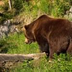European brown bear — Stock Photo #1803945