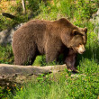 European brown bear — Stockfoto