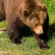 European brown bear clouse-up — Stock Photo #1803970