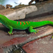 Madagascar giant day gecko — Stock Photo