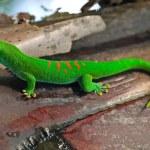 Madagascar giant day gecko — Stock Photo #1804779