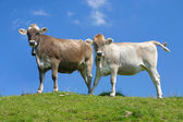 Swiss cows against blue sky — Foto Stock