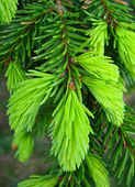 Fresh green pine needles — Stock Photo