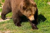 European brown bear clouse-up — Stock Photo