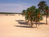 Oasis in Sahara desert — Stock Photo