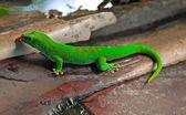 Madagascar giant day gecko — Stock Photo