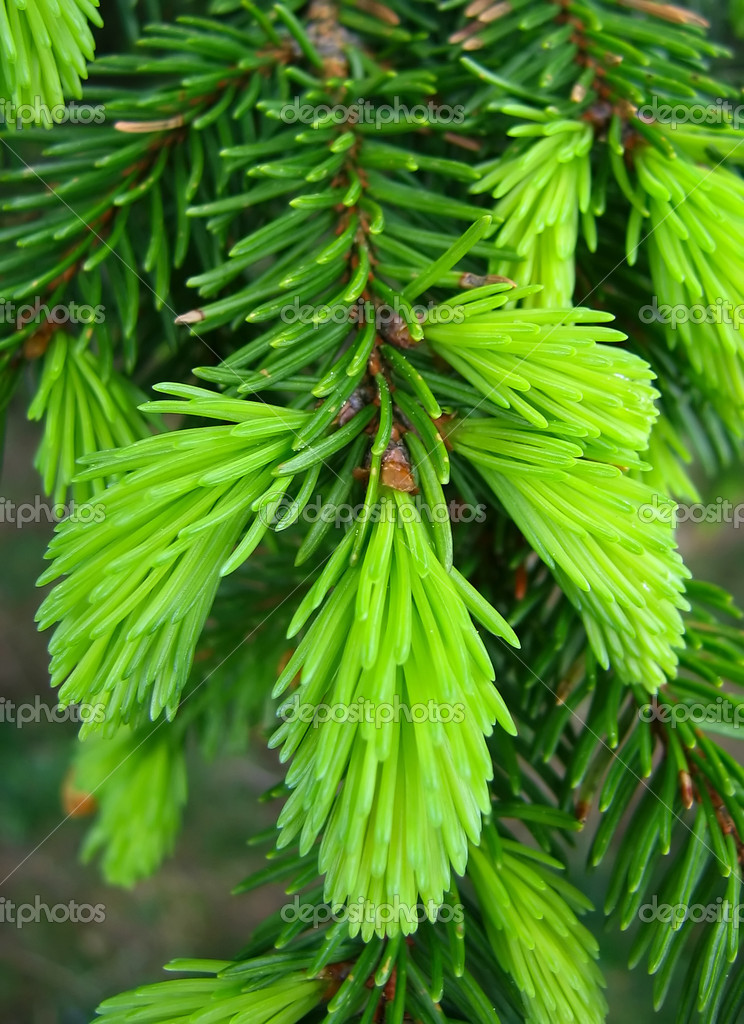 Fresh green pine needles — Stok fotoğraf #1803759