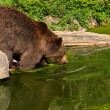 European brown bear — Stock Photo #2009877