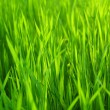 Fresh Spring Green Grass — Stock Photo #2555757