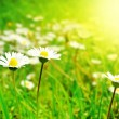 White Flowers on the Spring Meadow in Bright Sunlight — Stock Photo