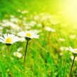 White Flowers on the Spring Meadow in Bright Sunlight - Stock Photo