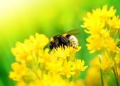 Bumblebee on Yellow Flower — Stock Photo