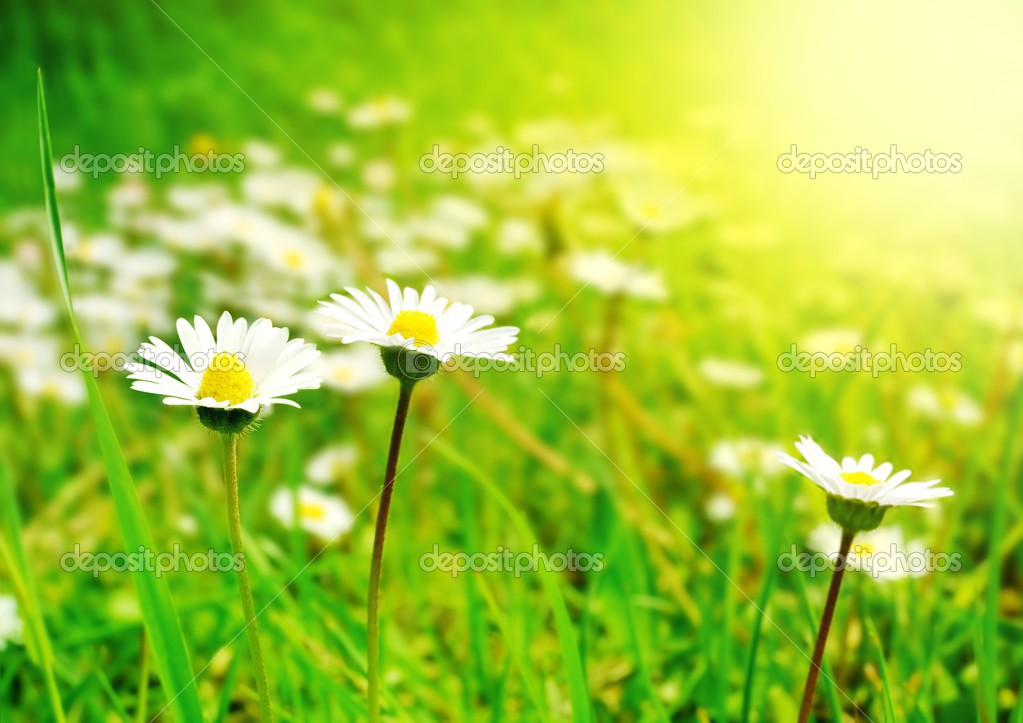 White Flowers on the Spring Meadow in Bright Sunlight — Stock Photo #2555773