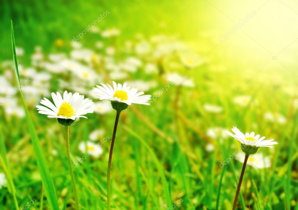 White Flowers on the Spring Meadow in Bright Sunlight — Foto de Stock   #2555773