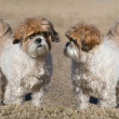 Two Shih-Tzu Dogs — Stock Photo
