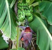 Green Bananas s With Banana Flower — Stock Photo