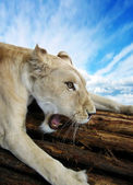Beautiful rare African white lioness — Stock Photo