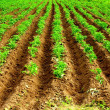 Potatoe field — Stock Photo
