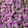 Stock Photo: Pink spring flowers in close-up