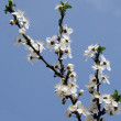 Stock Photo: Early spring cherry flower