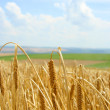 Stock Photo: Wheat before harvest