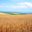 Wheat before harvest — Stock Photo