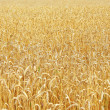 Wheat before harvest — Stock Photo #1917836