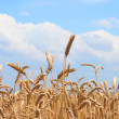 Wheat before harvest — Stock Photo #1917860