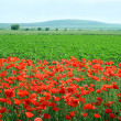 Field of poppies — Stock Photo #1995982