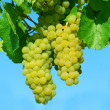 Yellow grape vines growing - Stock Photo