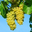 Yellow grape vines growing — Foto Stock