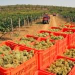 Picking grapes — Stock Photo