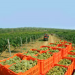 Picking grapes — Stock Photo #1996242